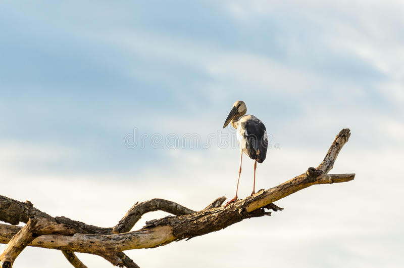 Download Sta птицы Openbill азиата (oscitans Anastomus) белое Стоковое Изображение - изображение насчитывающей бочонков, тайско: 40578973
