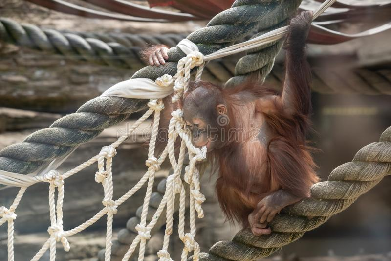 Staar van een orangoetanbaby, die op dikke kabel hangen De een weinig grote aap gaat een alpha- mannetje zijn Mens zoals aapwelp  royalty-vrije stock foto