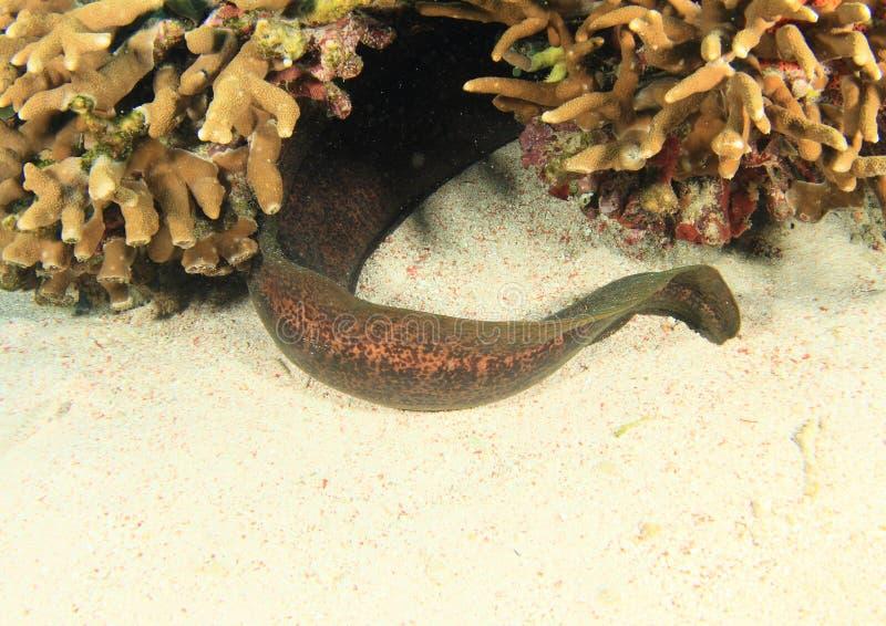 Staart van Reuze estuarine moray royalty-vrije stock foto