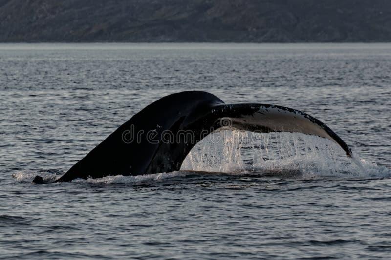 Staart van walvisduik royalty-vrije stock foto