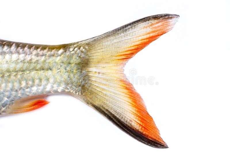 Staartvissen royalty-vrije stock fotografie