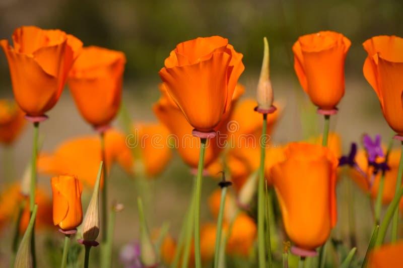 Staat California-Mohnblumen stockbilder