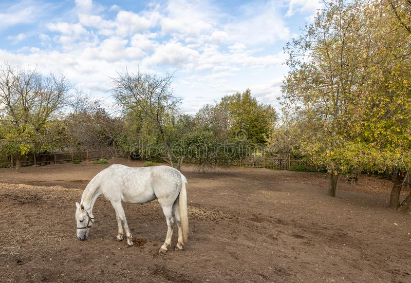 White horse grazing in the stable yard. Stable yard in the Museum-reserve Kolomenskoye. Manor house with exhibition rooms and saddlery workshop, a shed for stock photo