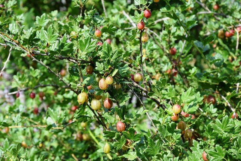 Stachelbeerbusch mit den Beeren stockbild