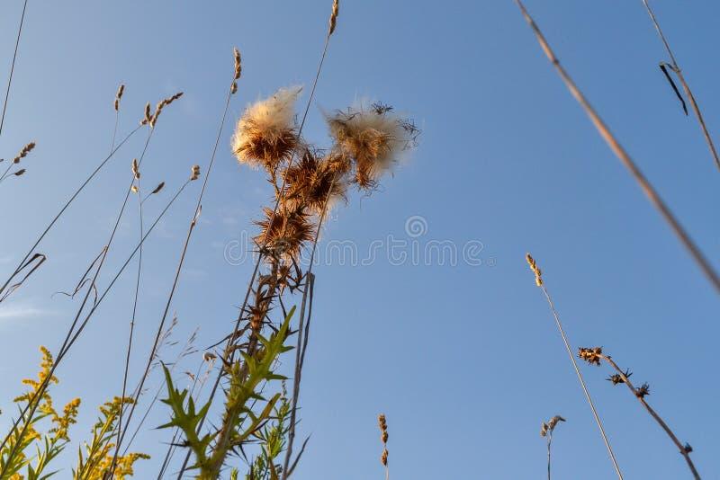 Stachelige Anlage mit einer Pelzblume gegen den Himmel Ansicht von unten lizenzfreie stockfotos