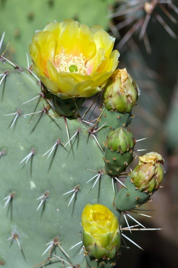 Stachelige Birnen-Kaktus, Opuntie lizenzfreies stockbild