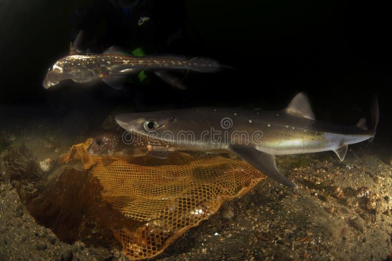 Stachelige kleine Haie stockfotografie