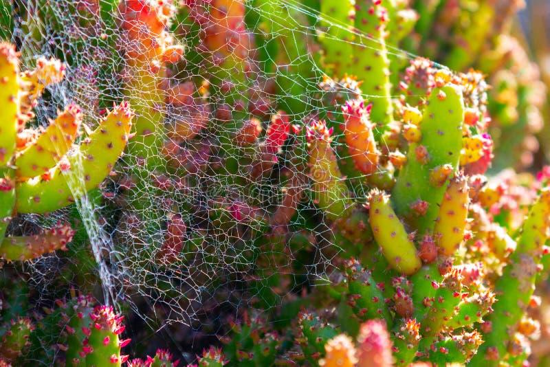 Stachelige saftige Gr?npflanzen des Kaktus mit den Dornen und den Spinnennetzen stockbild