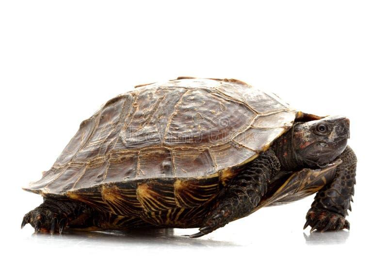 Stachelige Schildkröte stockbild