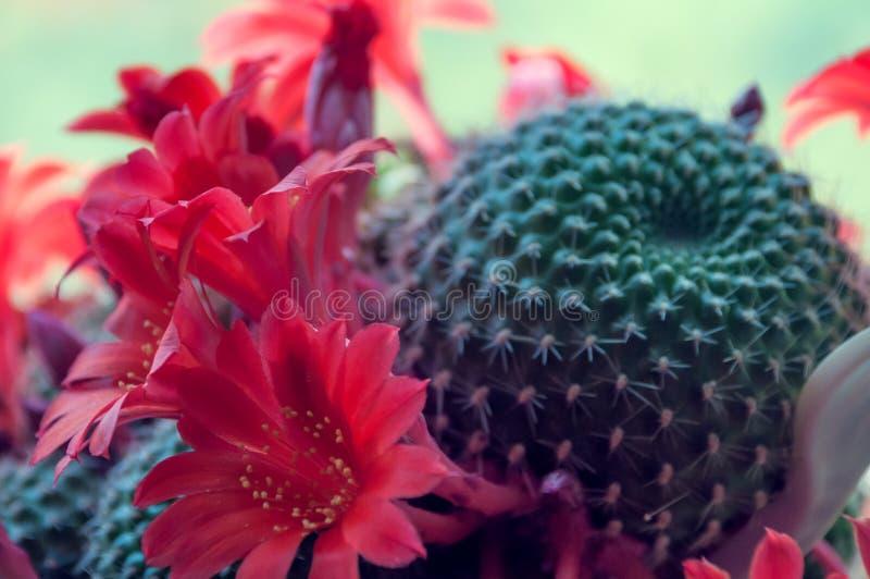 Stacheliger grüner Kaktus mit roten Blumen stockbild