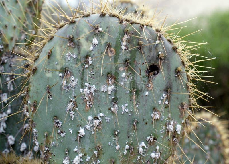 Stacheliger Kaktus geplagt mit Schildläusen stockbild
