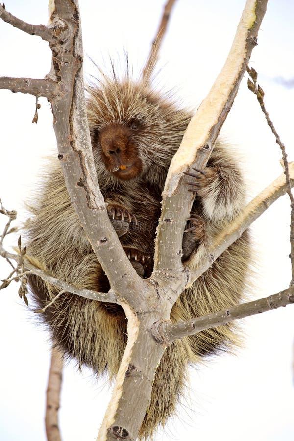 Stachelschwein im Baum stockfotos