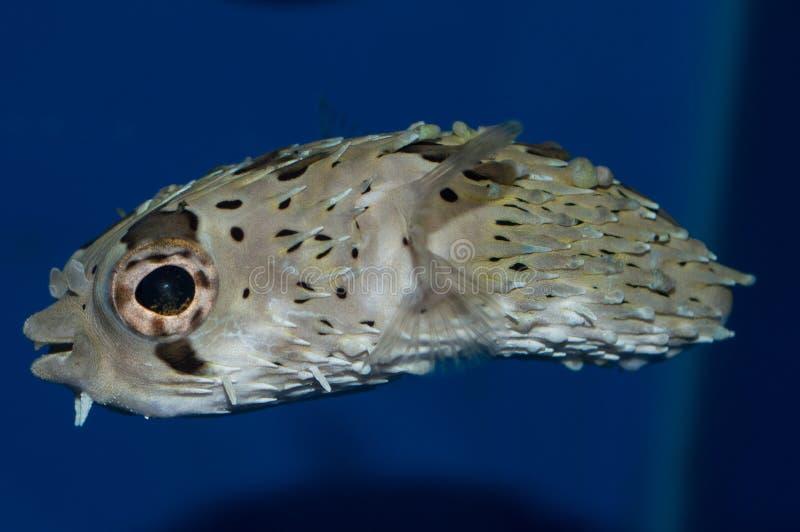 Stachelschwein-Pufferfische Diodon holocanthus stockfotografie