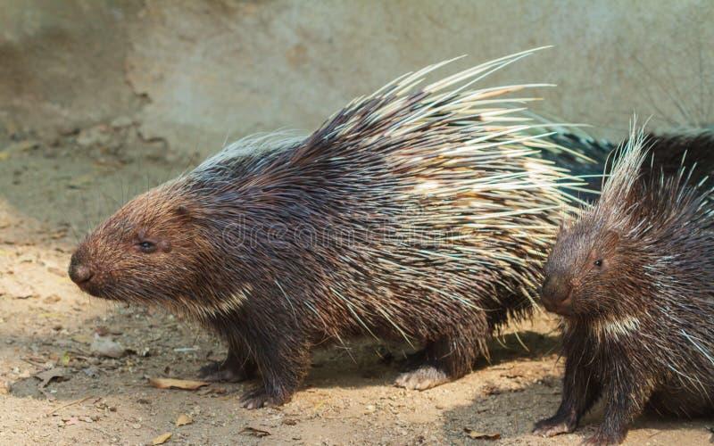 Stachelschweinnahaufnahmeansicht stockfoto