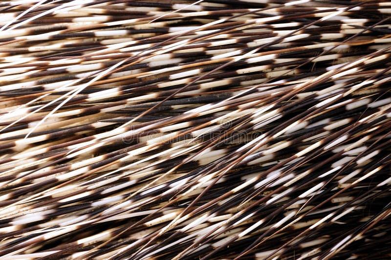 Stachelschweinspulen stockbilder