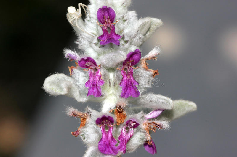 Stachys byzantina, Lambs-ear, Woolly hedgenettle royalty free stock photography