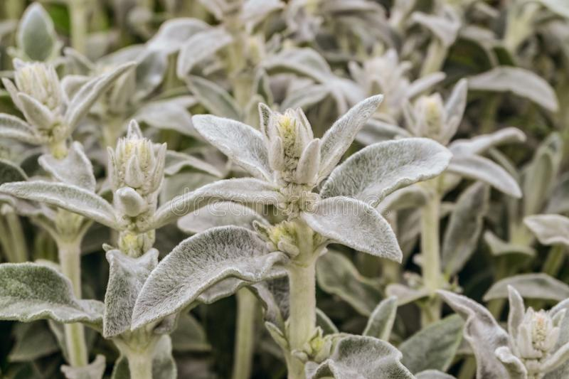 Stachys byzantina leaves close-up stock image