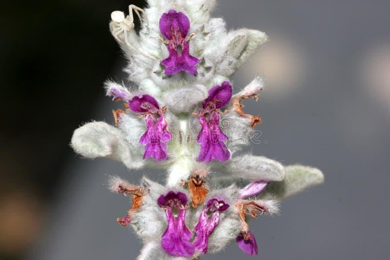 Stachysbyzantina, Lamb& x27; s-öra ullig hedgenettle royaltyfri fotografi