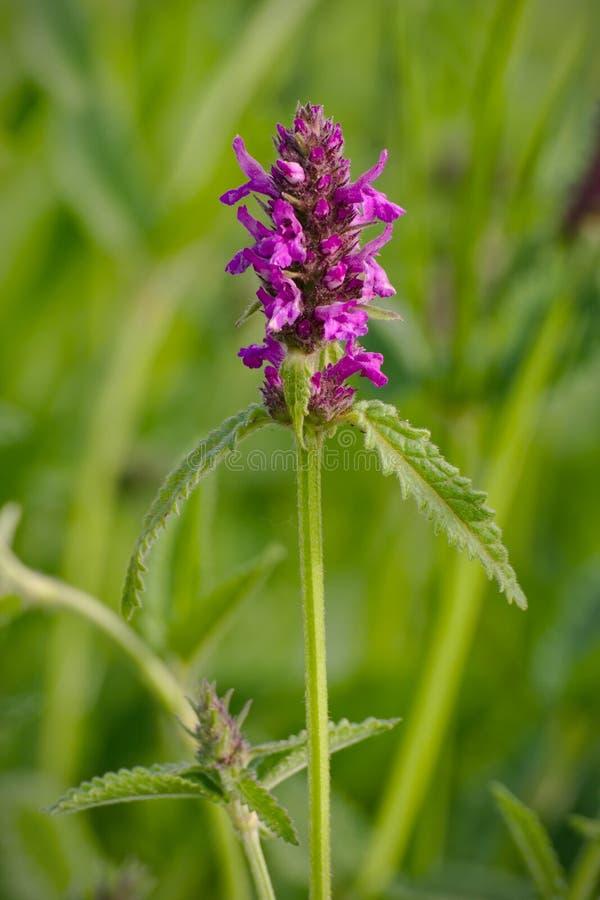 Stachysofficinalis stock foto's