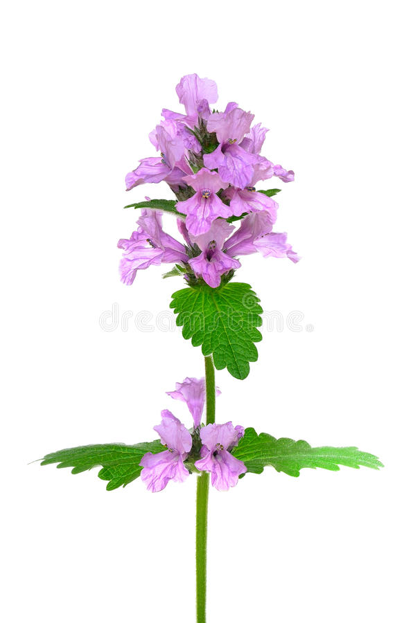 Stachysofficinalis, purpere betony bloem royalty-vrije stock foto