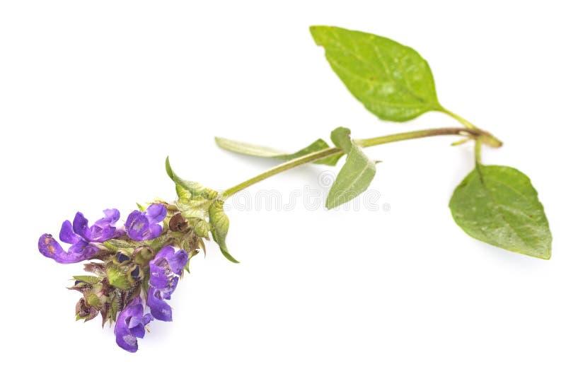 Stachysofficinalis in studio stock afbeelding