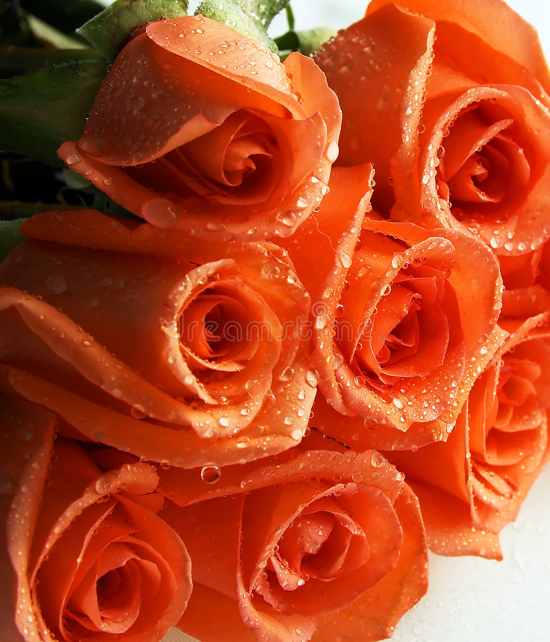 Stack of coral roses stock photos
