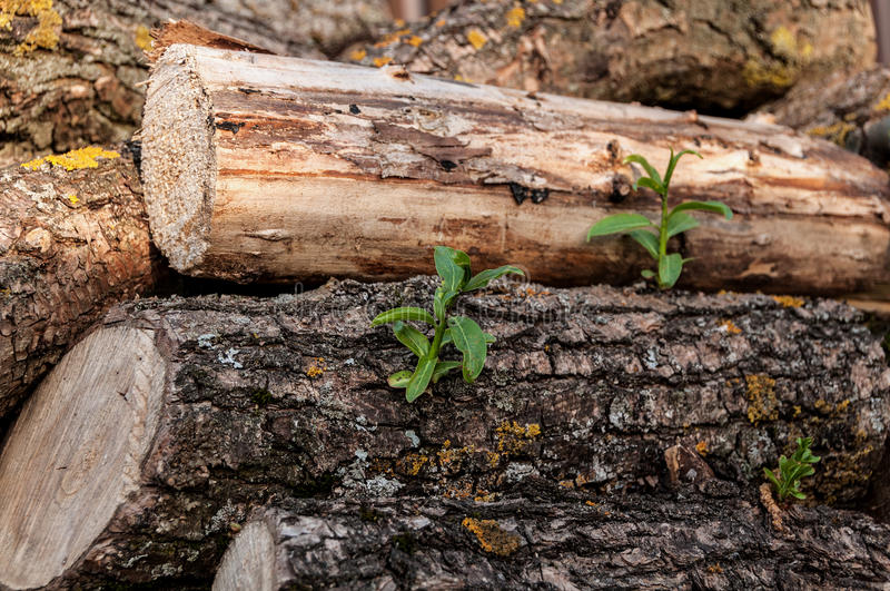 Stack of firewood sprouts. Young green sprout on the wood stacked in the woodpile stock image