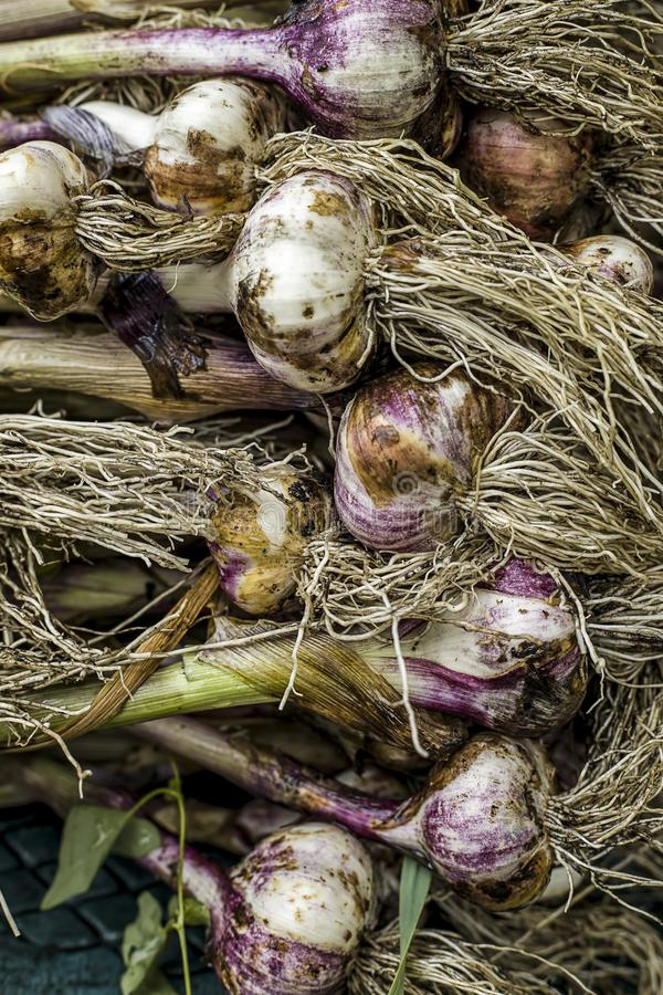 Stack of freshly picked garlic royalty free stock photography