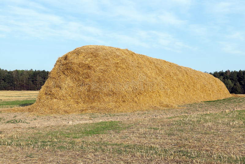 Stack of straw in the field. Agricultural field on which were left lying Straw Haystacks after the wheat harvest, grain field, farming and organic foods, autumn royalty free stock photos