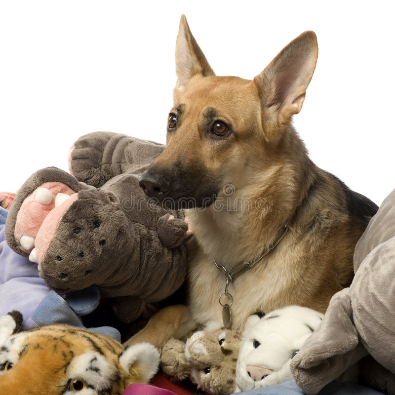 Stack of teddy and a german shepherd stock photos