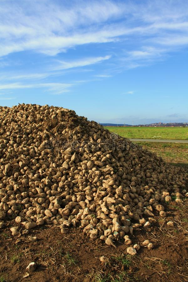 Download Stack of white beet stock image. Image of outdoors, seasonal - 16973439