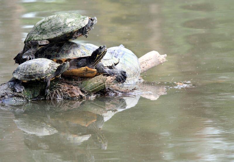 Stacked Turtles Stock Photos