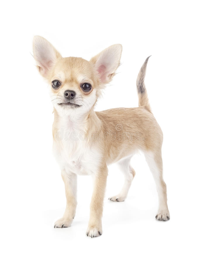 Stacking Purebred Chihuahua Puppy Stock Photography