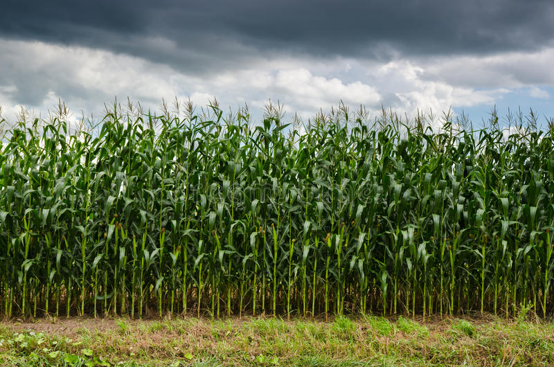 Stacks of Corn royalty free stock photography