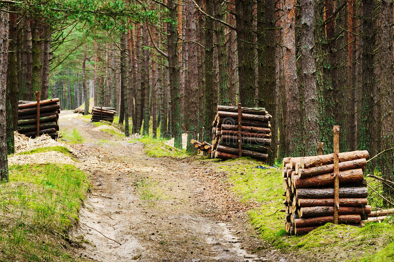 Stacks of felled pine tree trunk logs along road in evergreen coniferous forest. Piles of felled pine tree trunk logs along road in evergreen coniferous forest royalty free stock photo