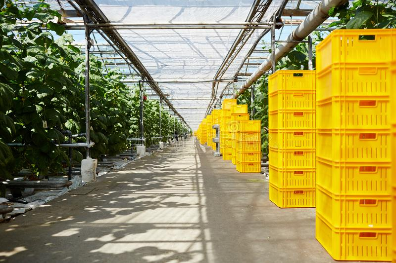 Storage of vegetation. Stacks of yellow boxes standing along tomato plantation in greenhouse stock photo