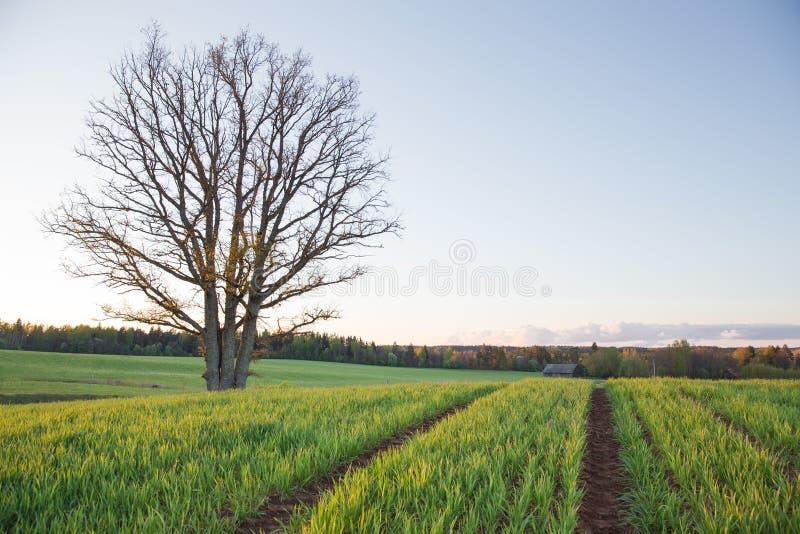 Stad Cesis, de Republiek van Letland Eiken boom en weide met zonlicht Reisfoto stock afbeeldingen