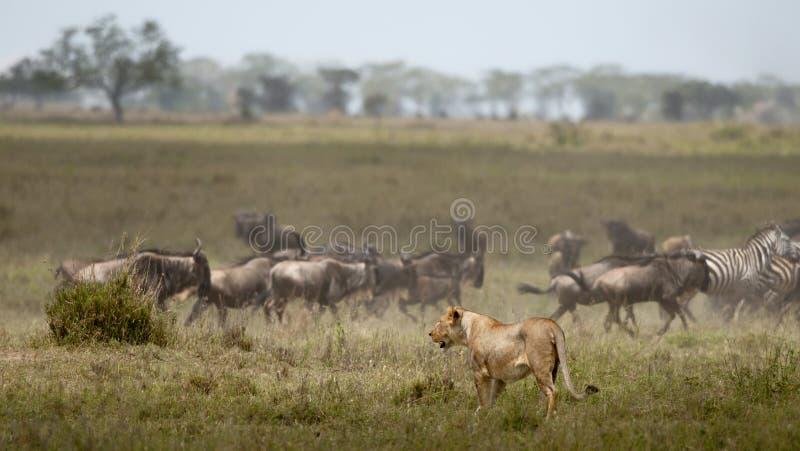 stada lwicy serengeti wildebeest obrazy royalty free