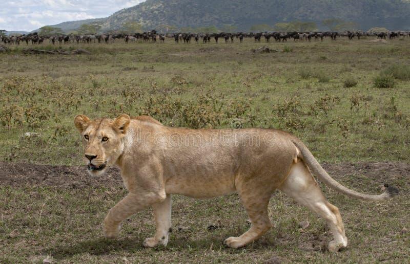 stada lwicy wildebeest zdjęcie royalty free