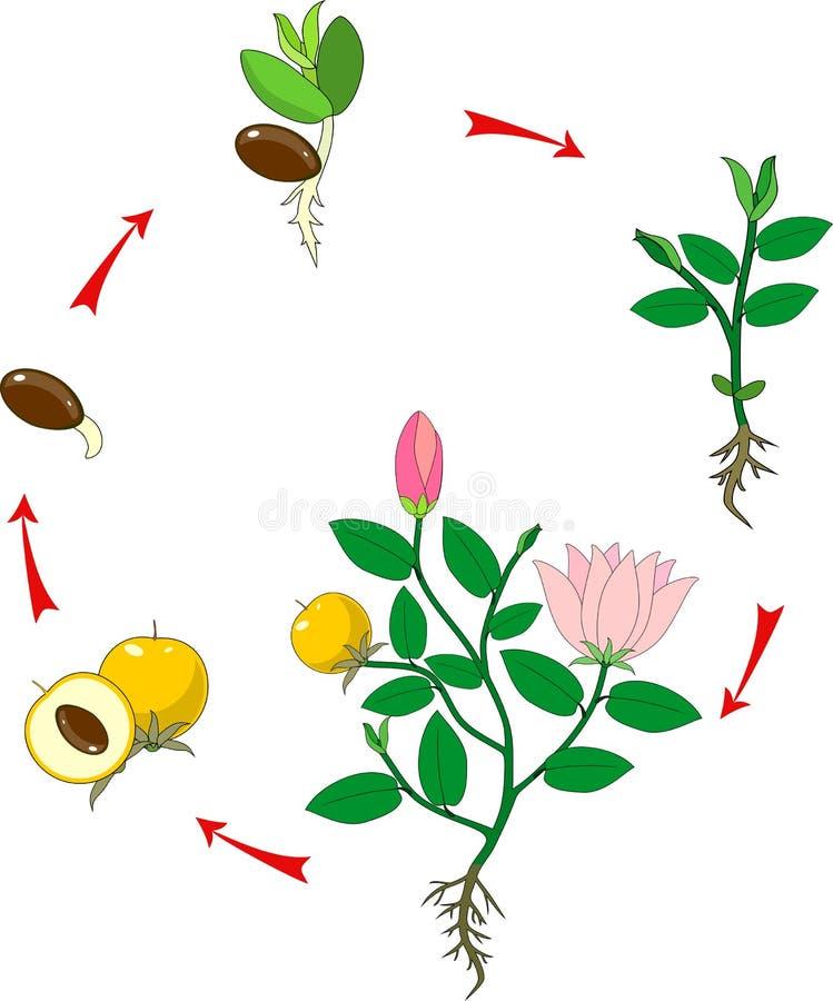 Stadia van de groei van bloeiende installatie stock illustratie