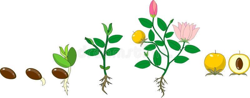 Stadia van de groei van bloeiende installatie van zaad stock illustratie
