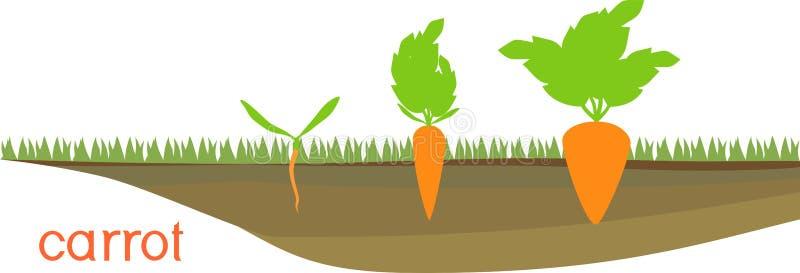 Stadia van de groei van wortelen op plantaardig flard stock illustratie