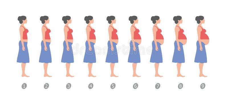 Stadia van zwangerschap Vlak Ontwerp vector illustratie