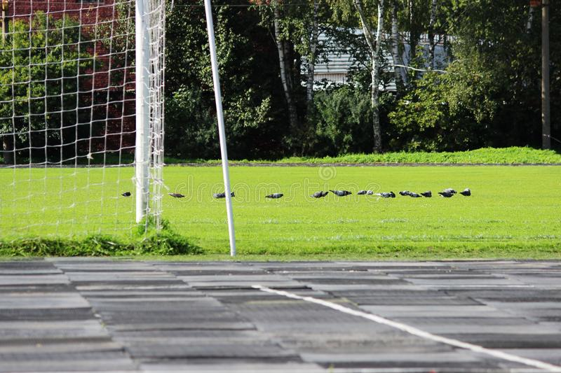 stadium: a treadmill with rubber plates and a football field with a goalkeeper's goal and a flock of pigeons that walk on real gr stock photo