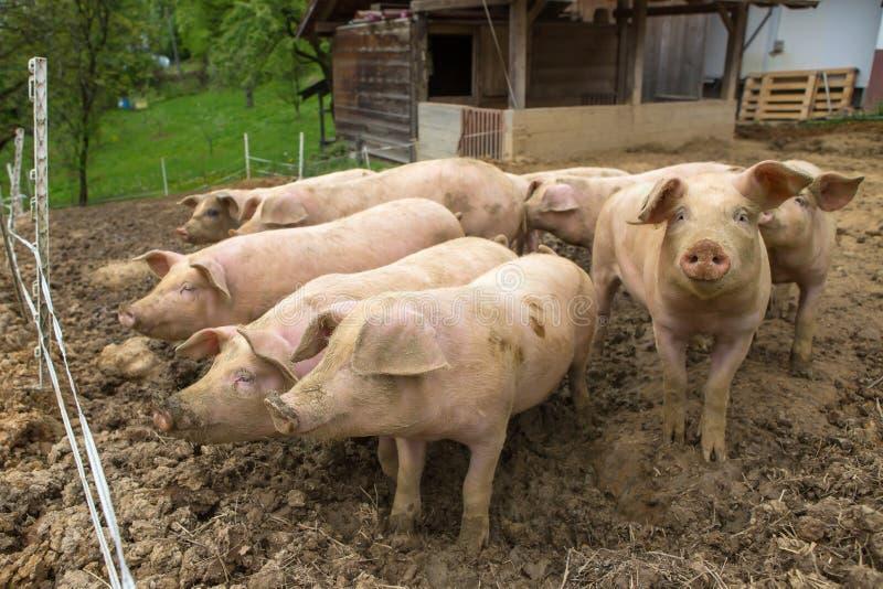 Stado świnie przy świniowatym hodowli gospodarstwem rolnym obrazy royalty free