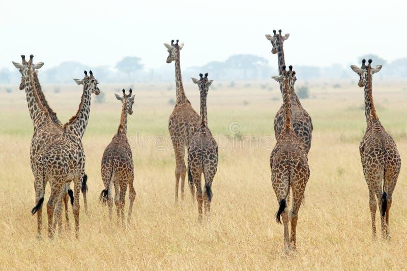 Stado żyrafy fotografia stock