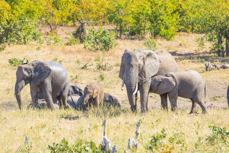 Stado Afrykańscy słonie bawić się z wodą i błotem w krzaku Przyroda safari w Kruger parku narodowym główny podróży des zdjęcie stock