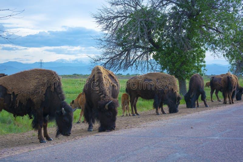 Stado Amerykańskiego żubra bizon drogą w ciągu dnia obraz royalty free