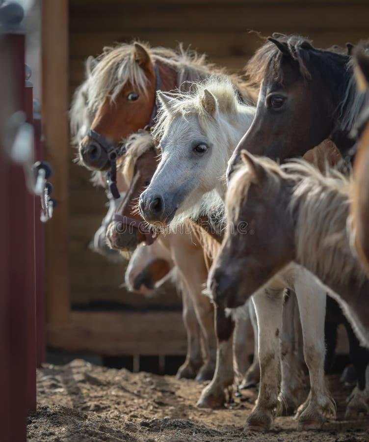 Stado amerykanin miniatury konie zbierał przy schronieniem obraz stock