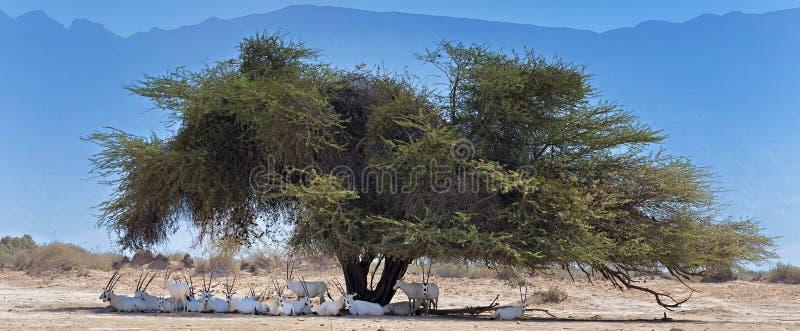 Stado antylopy odpoczywa pod dużym akacjowym drzewem w pustyni fotografia royalty free